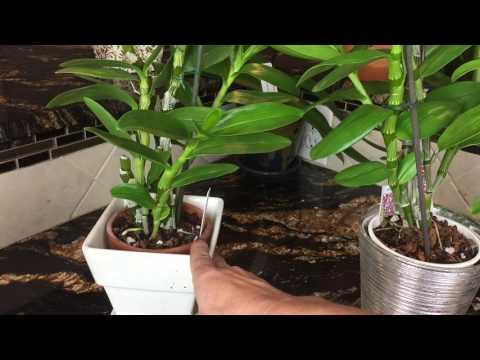 Как ухаживать за орхидеей Дендробиум нобиле. Свет, полив и удобрение для орхидеи.