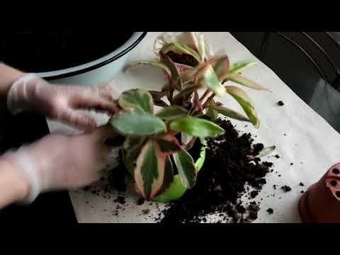 Пеперомия пятнистая. Пересадка купленного растения.