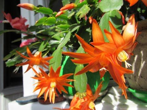 РИПСАЛИДОПСИС (Пасхальный кактус). Часть 1. Особенности ухода для пышного цветения.