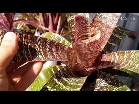 Bromeliae . Бромеливые, часть 1.