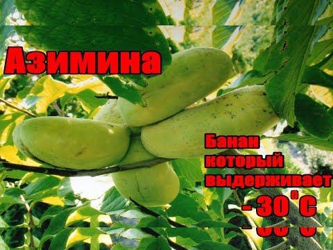 Как выращивать бананы в суровом климате / Бананы растущие при - 30