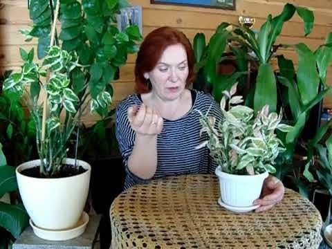 Интересное растение педилантус