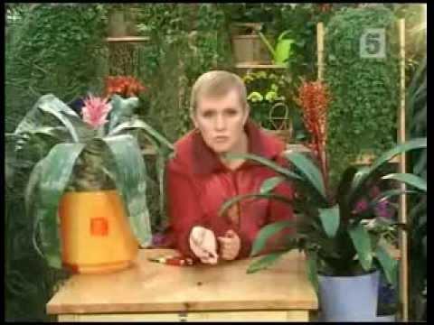 Эхмея самое красивое растение