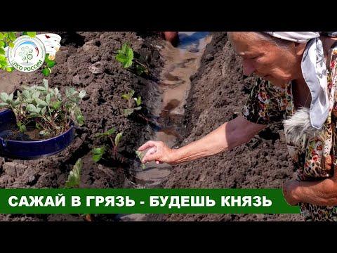 Как высадить рассаду клубники в грунт. Пикировка сеянцев клубники.