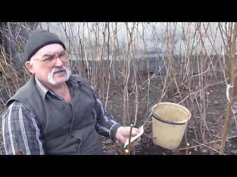 Как посадить молодой персик. Посадка саженцев персика