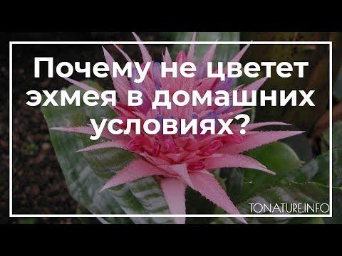 Почему не цветет эхмея в домашних условиях? | toNature.Info