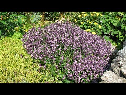 Богородская трава в вашем саду Как вырастить тимьян и чабрец