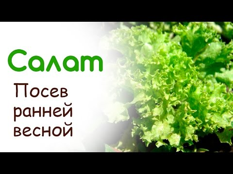 Посев салата в открытый грунт ранней весной