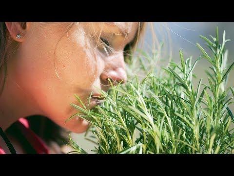 Розмарин из черенков Как выращивать розмарин