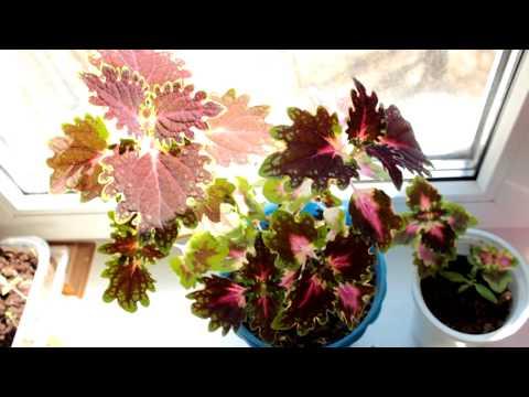 Колеус советы по уходу формирование,цветение,черенкование