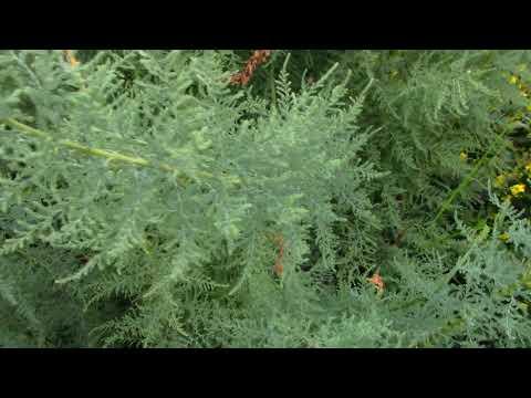 Мирикария лисохвостниковая-стоит-ли сажать?