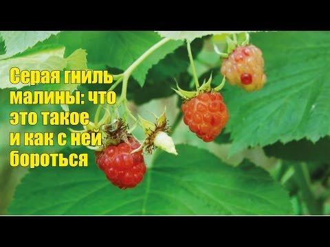 Летняя болезнь малины - серая гниль. Как бороться?