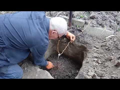Посадка саженцев винограда из школки на постоянное место жительства осенью