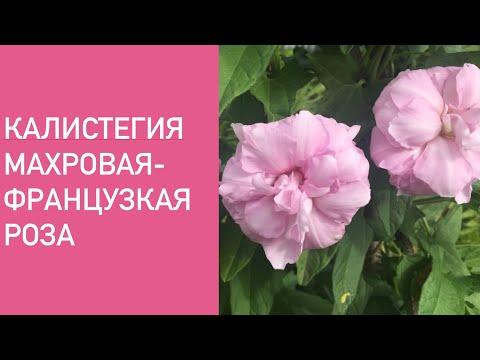 КАЛИСТЕГИЯ МАХРОВАЯ- ФРАНЦУЗСКАЯ РОЗА .