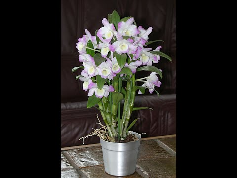 Орхидея дендробиум. Отцвела. Пересадка.