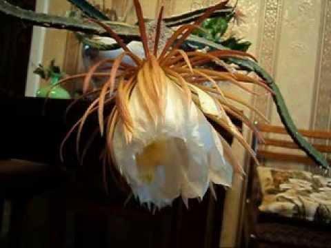 Селеницереус расцветает
