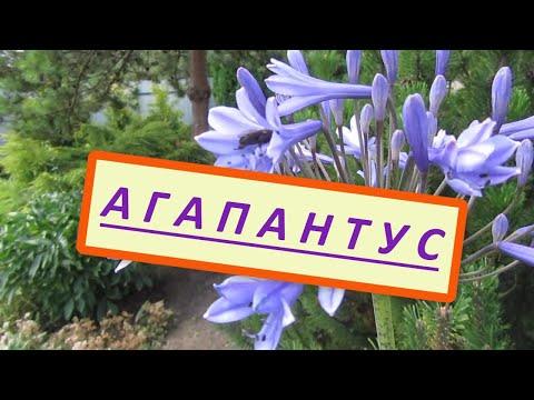 Как вырастить Агапантус, Африканскую лилию на севере Украины