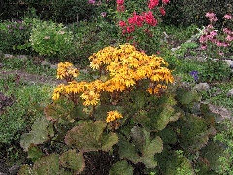 БУЗУЛЬНИК или ЛИГУЛЯРИЯ – высокий тенелюбивый многолетник в саду. Посадка, уход и разведение