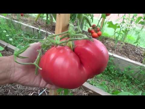 """Сорта томатов для теплицы. Сайт """"Садовый мир"""""""