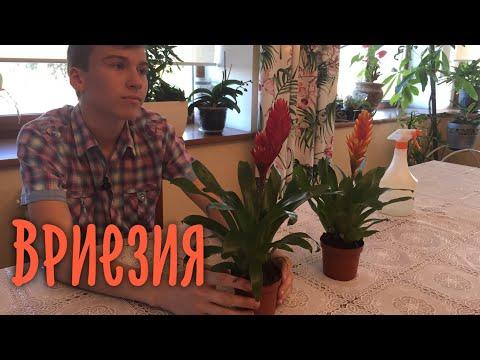 Комнатное растение Вриезия. Про уход и содержание. БотаникLIVE
