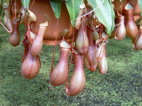 Кормление Непентес. Растение-хищник за обедом.