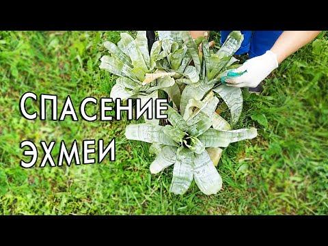 Пересадка эхмеи. Спасаю растение.