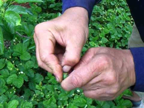 Слива - Вредители - Сливовый пилильщик - Повреждения плода и личинка