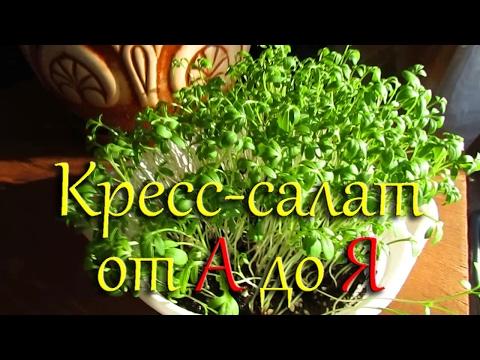 Кресс-салат. Выращивание на подоконнике от посева до сбора урожая.