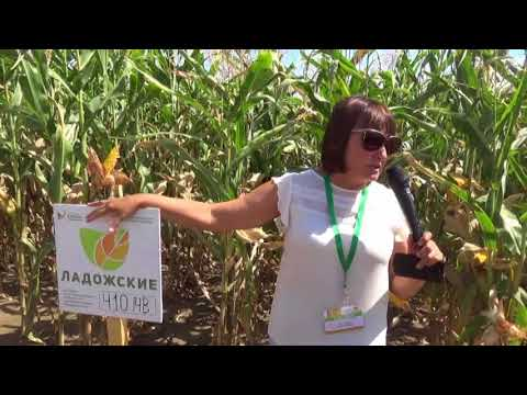 Гибриды и сорта кукурузы. День поля Усть-Лабинский район, Краснодарский край