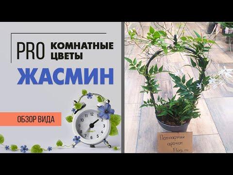 Комнатный жасмин - цветущая ароматная лиана | Секреты ухода за жасмином