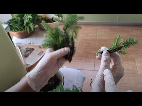 Растим ели из черенков. Как правильно заготовить черенки елочек Коника и Нидиформис.