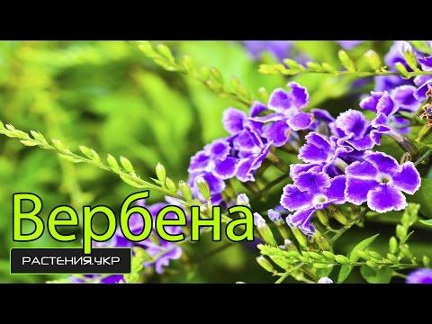 Вербена посадка и уход / Вербена выращивание из семян