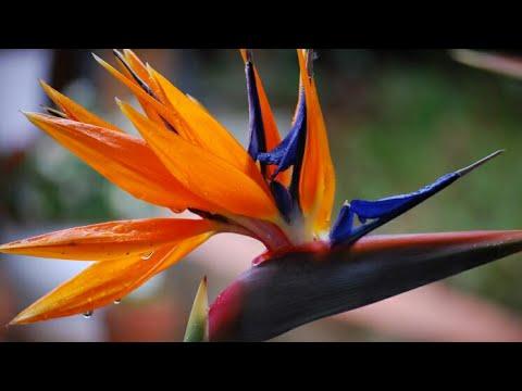 Пересадка стрЕ😆лиции(Strelitzia reginae)
