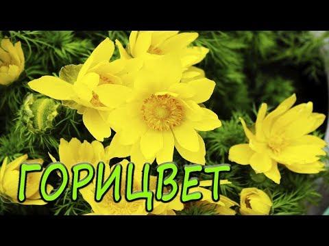 Горицвет(адонис весенний). [Надежда и Мир]