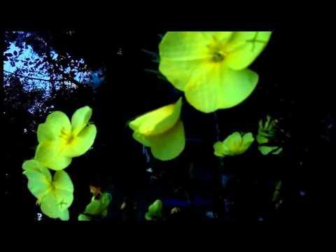 Энотера раскрывается - цветок заката