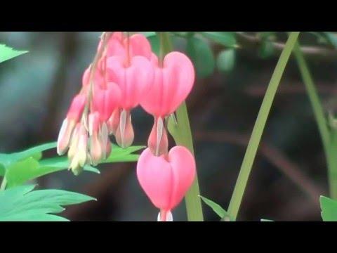 Дицентра ( Разбитое Сердце). Неприхотливые Растения Для Тенистых Мест