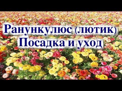 РАНУНКУЛЮС (ЛЮТИК). ПОСАДКА И УХОД
