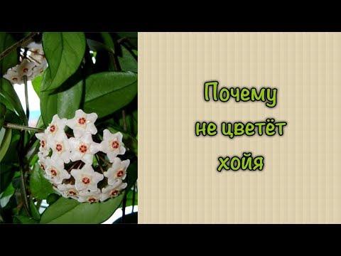 #хойя #житьёбытьё Почему не цветет хойя