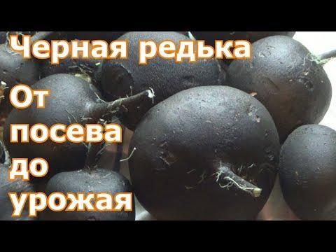 Черная редька. От посева до урожая.