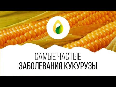 Самые частые ЗАБОЛЕВАНИЯ кукурузы