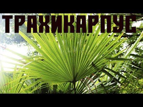 Трахикарпус - веерная пальма.