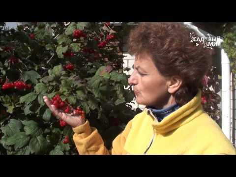 """Как выращивать калину. Урожай калины. Сайт """"Садовый мир"""""""