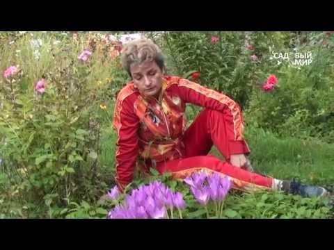 """Неприхотливые цветы для сада. Безвременники. Сайт """"Садовый мир"""""""