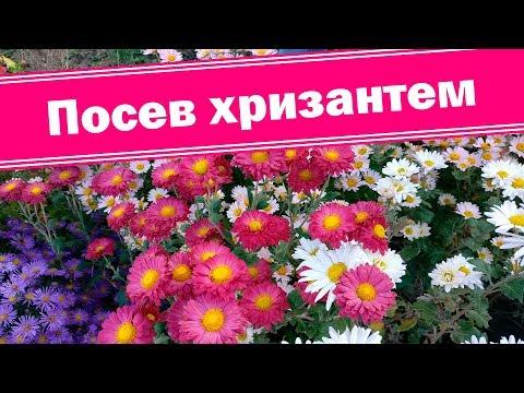 О посеве подробно!!! Выращиваем хризантемы из семян.