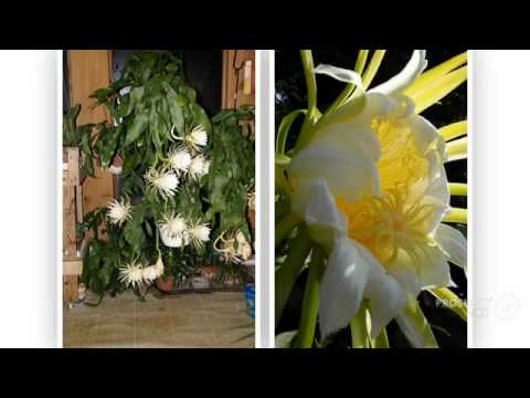 Cereus - garden plants