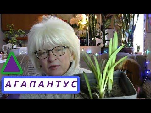 Цветок Агапантус - Африканская лилия. Описание, уход, история