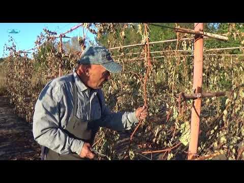 КОГДА ОБРЕЗАТЬ ВИНОГРАД? Мнение виноградаря.
