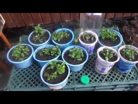 Высаживаем рассаду лобелии в открытый грунт , на постоянное место