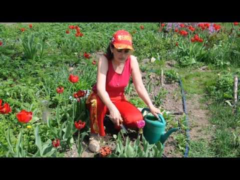 Уход за тюльпанами после цветения. Сайт sadovymir.ru