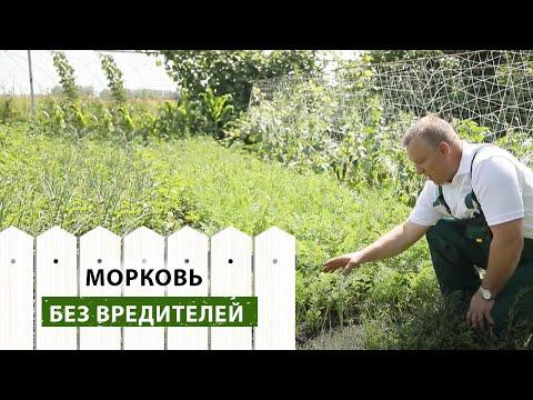 Как защитить морковь от почвенных вредителей и болезней своими руками